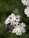 Bee on flowers. Bee feasting on a bunch of small white flowers Stock Photo