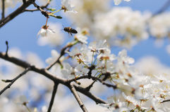 Bee and flowers. Royalty Free Stock Photo