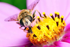 Bee on flowers. Royalty Free Stock Photo