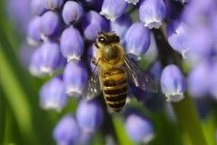 Bee between flowers Stock Images
