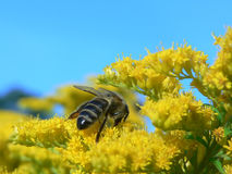 Bee on the flowers. The bee collects nectar - closeup Stock Photography