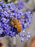 Bee on Flowers. Pollen-laden bee on blue flower clusters Royalty Free Stock Photography