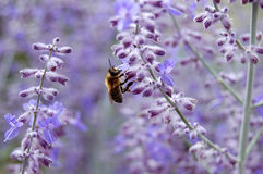 Bee with Flowers. Close-up of bee collecting pollen from purple Russian sage buds stock images
