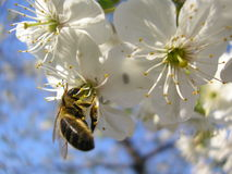 Bee among flowers of apple tree. Bee drinking nectar among flowers of apple tree Stock Photography