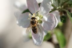 Bee on flowers of apple, macro shot Royalty Free Stock Photos