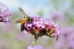 A bee on flowers. A bee and Argentinian Verbena flowers in the garden Stock Images