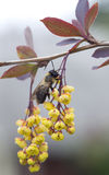 Bee on flowers of barberry. Stock Photography