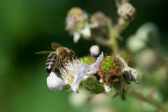 Bee on flowers of blackberries Royalty Free Stock Photography