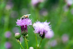 Bee and Flowers. Bee collecting nectar in flowers Royalty Free Stock Photos