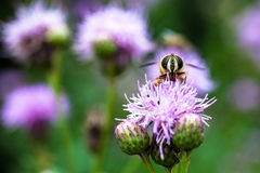 Bee and Flowers. Bee collecting nectar in flowers Stock Photography