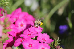 Bee on flowers Stock Photo