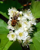 Bee on flowers. Of hawthorn Stock Photography