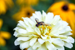 Bee and Flowers. Honey Bee on Blooming Flowers Royalty Free Stock Photo