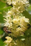 Bee on flowers linden closeup vertical Royalty Free Stock Photos