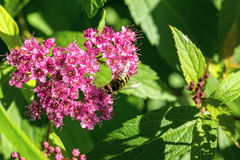 Bee and flowers. Stock Images
