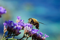 Bee at flowers Royalty Free Stock Photo