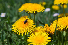 Bee and Flowers in Meadow Stock Image