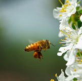 Bee and flowers of pear. In the spring,we go to the countryside.there are many  flowers and bees Royalty Free Stock Photo