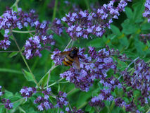 Bee on the flowers. Bee on purple flowers in a summer garden in a summer garden Royalty Free Stock Image