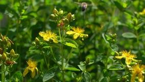 A bee on flowers Saint-John`s-wort. Saint-John`s-wort with bee. Slow motion.