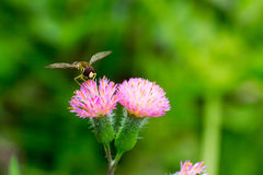 Bee on flowers. Bee on some flowers in the field Andean vegetation Royalty Free Stock Photo