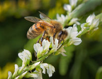 Bee on a flowers. Bee on a white flowers royalty free stock photo