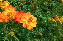 Bee and flowers Yellow in the garden. Royalty Free Stock Photography