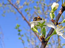 Bee on flowerses plum Royalty Free Stock Photography