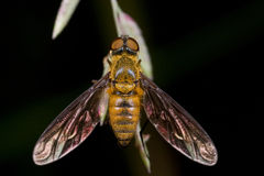 Bee fly Royalty Free Stock Images
