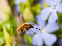 Bee Fly Royalty Free Stock Photo