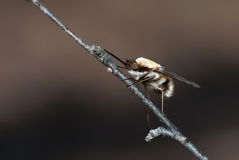 Bee-fly Stock Photography