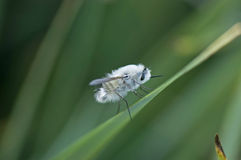 Bee-fly. Portrait of insect (bee-fly stock photos