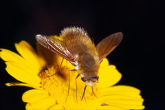 Bee-fly Royalty Free Stock Image