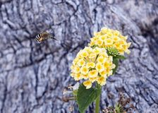 Bee fly approaching a yellow flower cluster of a Lantana plant Royalty Free Stock Image