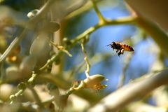 Bee fly around betel palm tree in garden Royalty Free Stock Photo