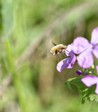 Bee-fly, Bombylius, harvesting nectar from a flower Royalty Free Stock Photo