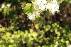Bee fly Stock Photo