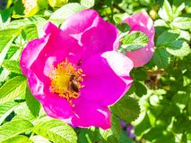 bee and fly collect pollen from of pink flower royalty free stock photography