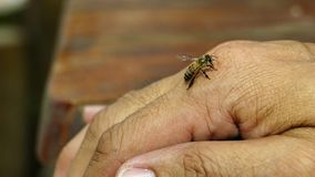 Bee fly down on a human hand. stock video