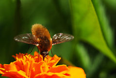 Bee-fly and flower Royalty Free Stock Photos