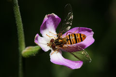 Bee-fly on the flower. Bee-fly close-up on a flower.Bee on a green background Royalty Free Stock Photos
