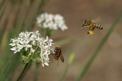 Bee, fly and flowers of garlic & x28;Allium& x29; Royalty Free Stock Photo