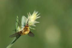 Bee fly on grass Stock Image