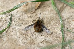 Bee fly on ground. Bee fly Bombylius major sitting basking and warming itself in a patch of spring sunlight on the ground with a few blades of grass Royalty Free Stock Photography