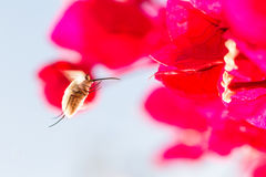 Bee fly hovering in Andalucia Spain. Royalty Free Stock Image