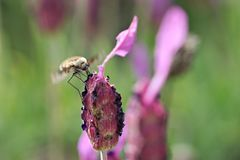 Bee fly on a levander Anouk royalty free stock photography