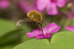 Bee Fly Stock Image