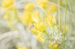 Bee Fly Seeking Pollen in Yellow Wildflowers on the Pawnee Natio Royalty Free Stock Photography