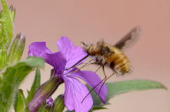 A Bee-fly sipping nectar from a purple flower Bombylius major Stock Images