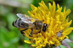 Bee and fly sitting on a flower. Stock Image